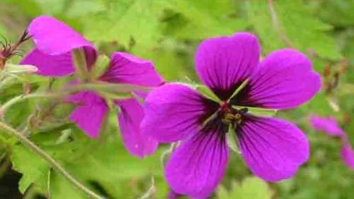 geraniumannfolkard