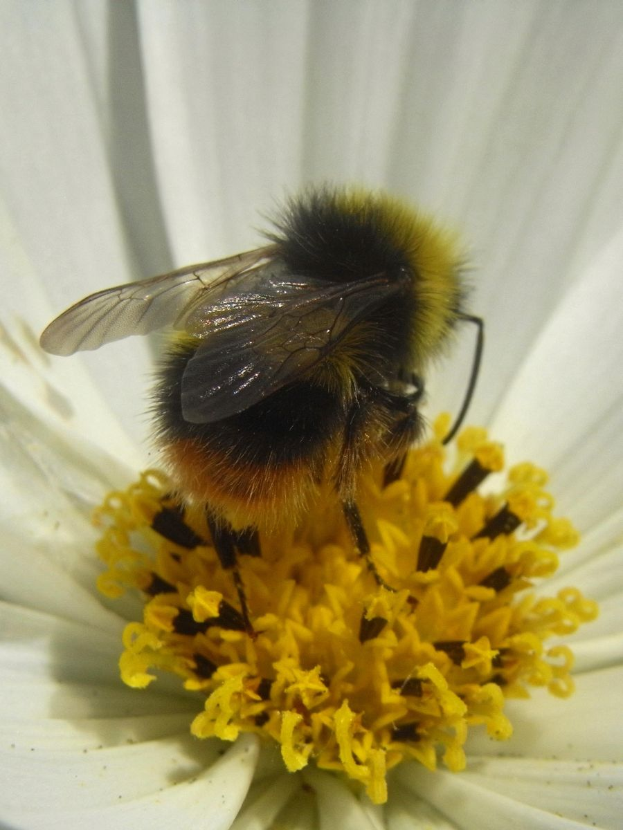 Bee on Cosmos, by Anna McArthur, Garden Designer